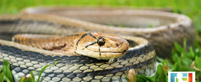 Snake Season Could Be Worse for Californians